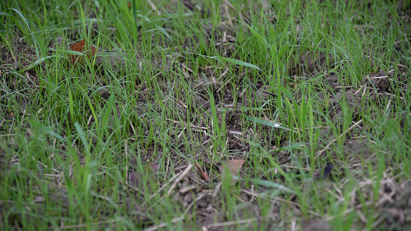 Programmes herbicides contre le ray-grass