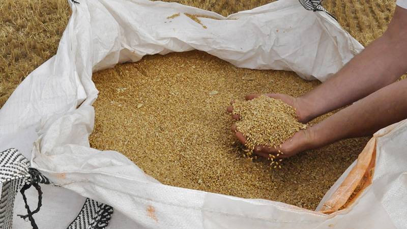 Grains de blé dur dans un big bag en 2019 en Occitanie